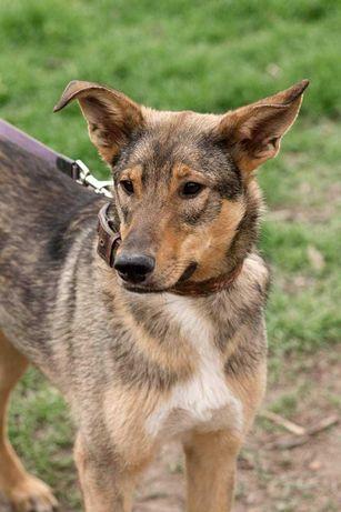 Молодая крупная стерилизованная собака ищет дом!