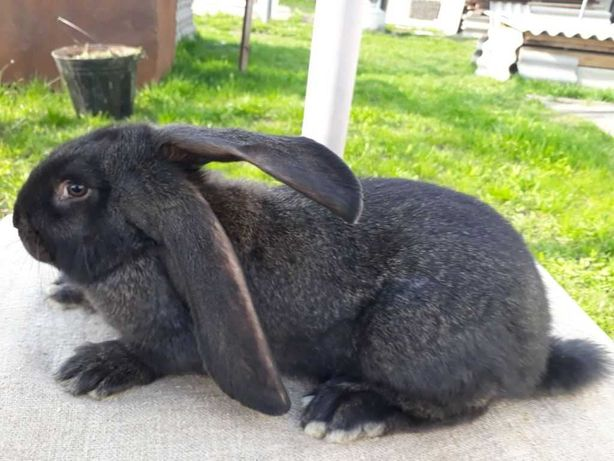 Кролики помесь (гибрид) Фландр + Французский баран.