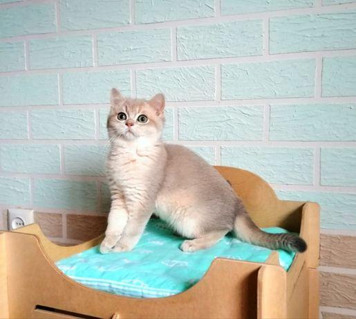 Na sprzedaż śliczny kotek. Rasa brytyjska (BSH). Kolor - błękitne złot