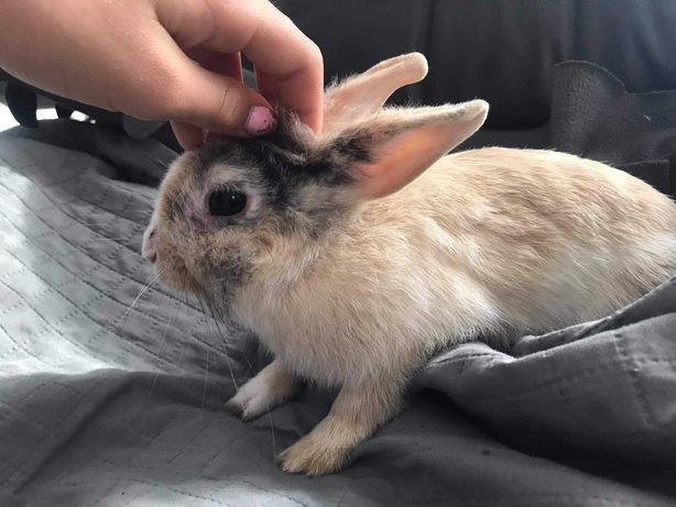 Króliczek miniaturka samiczka wyposażenie i zapas jedzenia