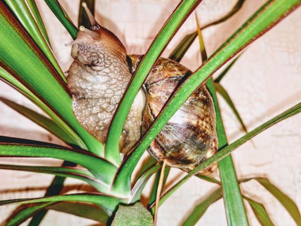 Равлики домашні. Улітки ахатіни фуліка. Різні розміри.