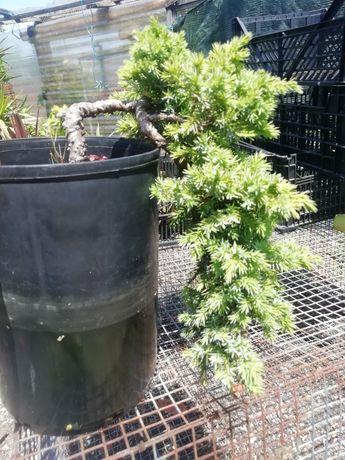 Bonsai estilo Cascata - juniperus