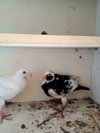Sprzedam gołębie rzeszowskie