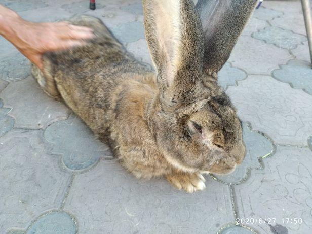 Кроли крупной породы