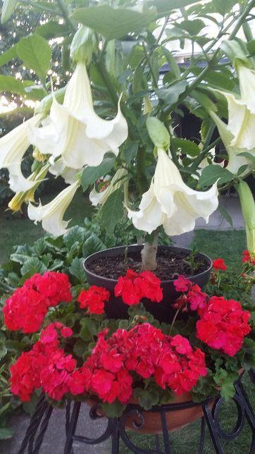 kwiat datura