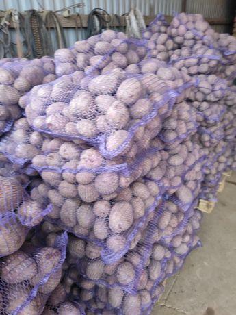 Ziemniaki jadalne belarosa