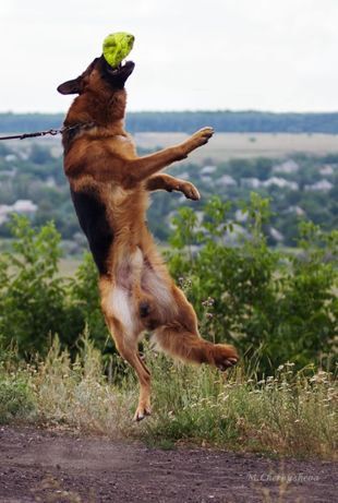 Дрессировка собак с пансионом.