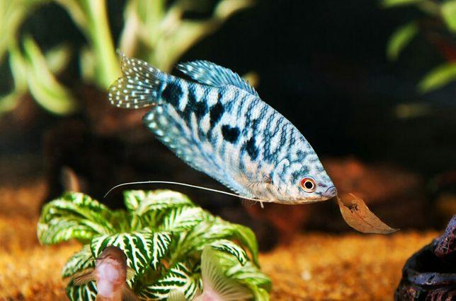Гурами - рыбки без кислорода, лабиринтовые рыбки,  неприхотливые рыбы