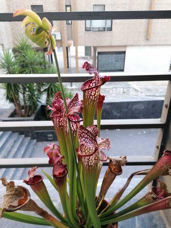 Sarracenia leucophylla adulta, com flores e fruto (carnívora)