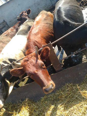 Продам тьолку на корову
