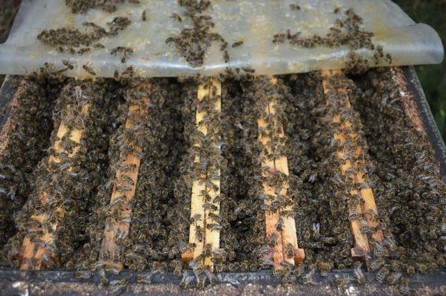 Плодная Пчелиная матка - Пчеломатки пчел - порода Карпатка Меченая