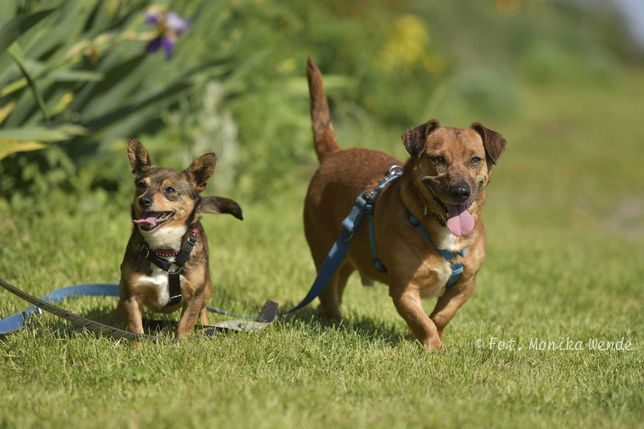 Mali i Majlo- dwoje nierozłącznych psich przyjaciół czeka na dom