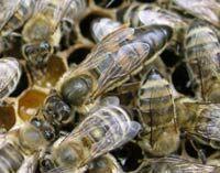 Пчёлы Карника 350 грн.рамка