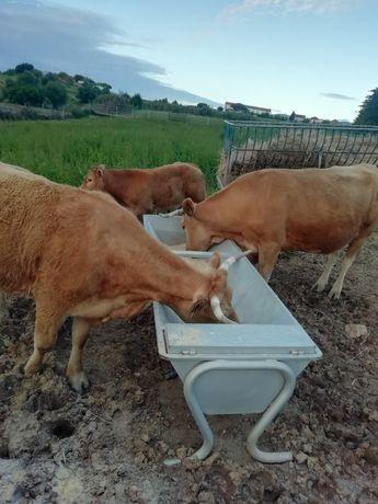 Vacas com Filhos para Venda