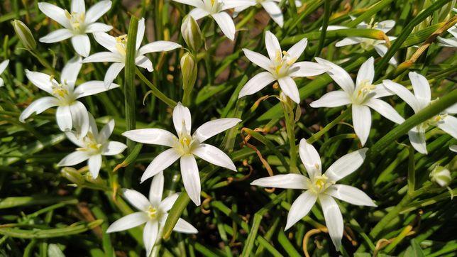 30ш Птицемлечник птицемлічник орнитогалум белые звездочки білі зірочки
