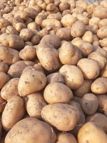 Ziemniaki 0,8zł/kg
