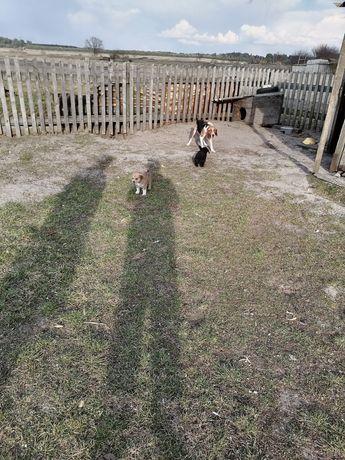 Естонська гонча щеня 1.5 місяця