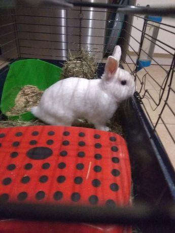 Sprzedam królika miniaturkę  z kładką