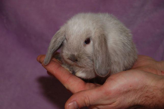 Висловухі кролики