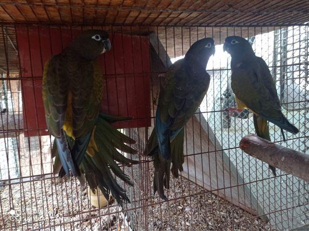 патагонський папуга