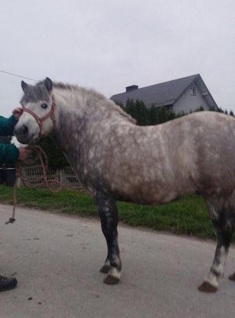 Konie kuce ogier siwy.