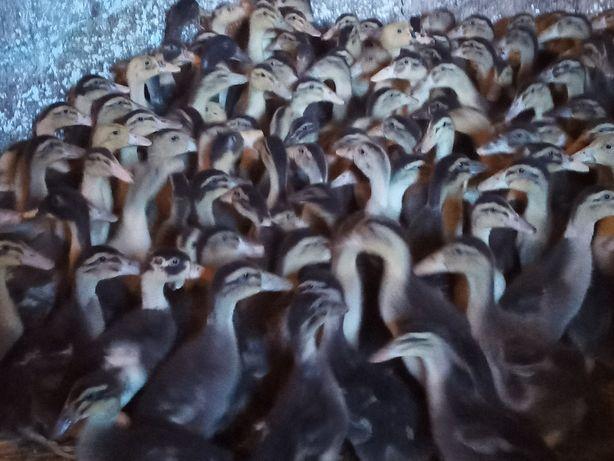 Pisklęta kaczek staropolskich 6zl.szt zaczynamy od 15marca2021