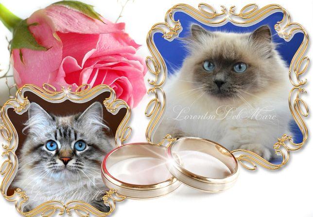 Чистокровные клубные котята из питомника