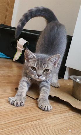 Gato Persa com DevonRex