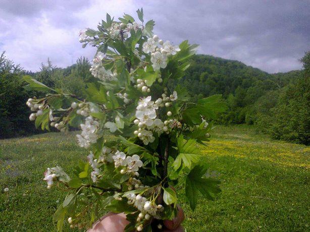 Цветы Боярышника(квіти глоду)горный с Закарпатье