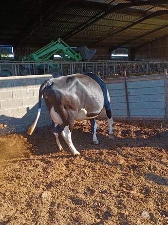 Vacas de primeira barriga