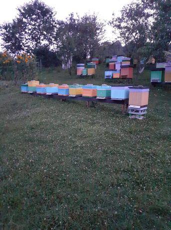 Rodziny pszczele na ramce warszawskiej poszerzonej lub dadant
