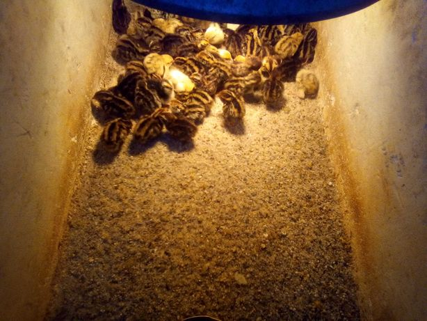 przepiórki japońskie pisklęta