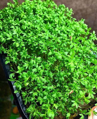 Микрогрин ( микрозелень)