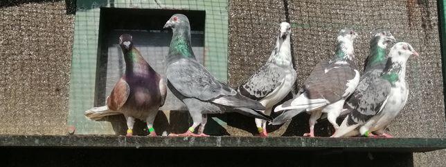 Gołębie pocztowe kolor samce /samice