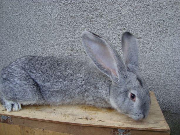 samiec belgijski królik srebrny belg olbrzym