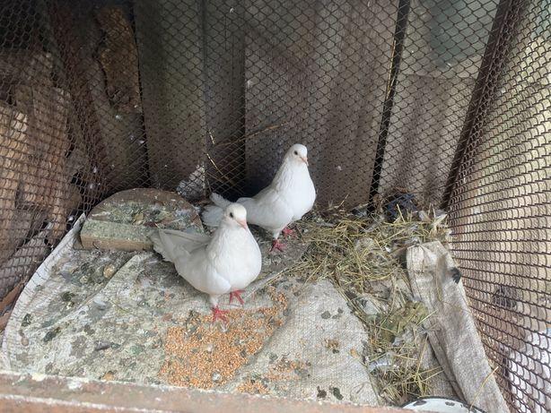 Николаевские голуби с красивым полетом