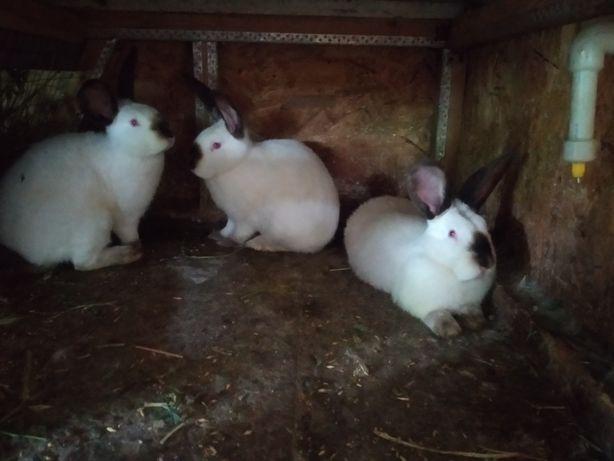 Продам кролики калифорнийской породы