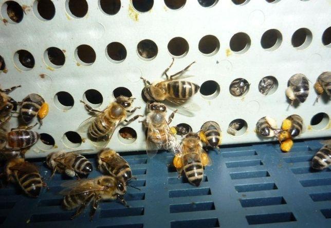 (С горного облетника) Пчеломатки L 47-Н-47 Sklenar Скленар