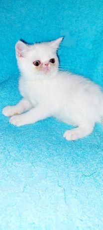 Экзотический котёнок белого окраса!