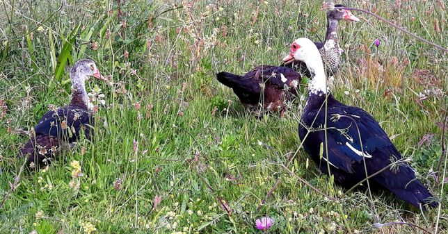 Patos mudos / Farm ducks