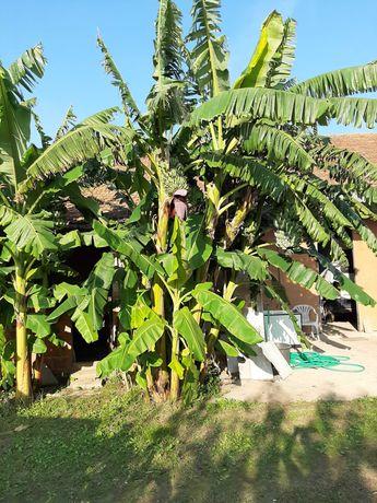 Venda de bananeiras