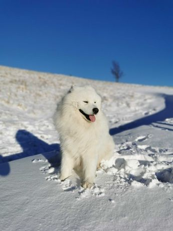 Samoyed Reproduktor ! Hod. Snowy Heaven