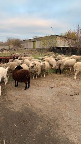 овцы,ягнята,вівці,ягнята,бараны