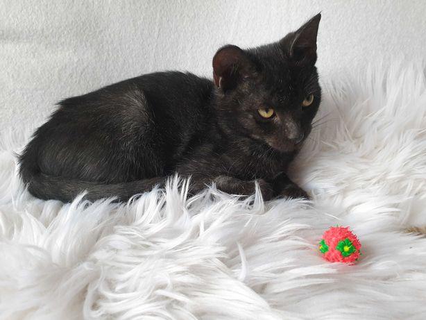 Mały, dwumiesieczny, czarny kotek do oddania