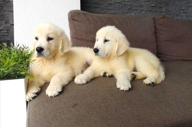 Golden retriever szczeniaki Goldenki Białe rodowod rodzice FCI ZKwP