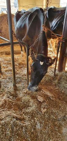 Krowa mleczna HF