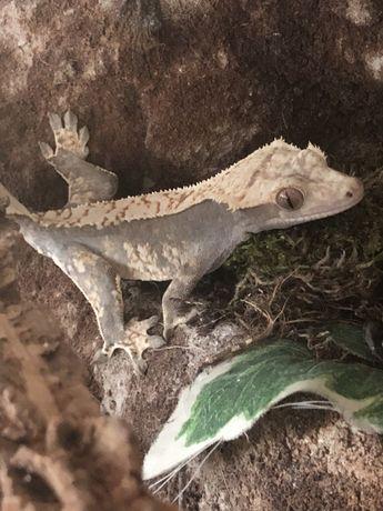 Gekon orzęsiony samica 34 g
