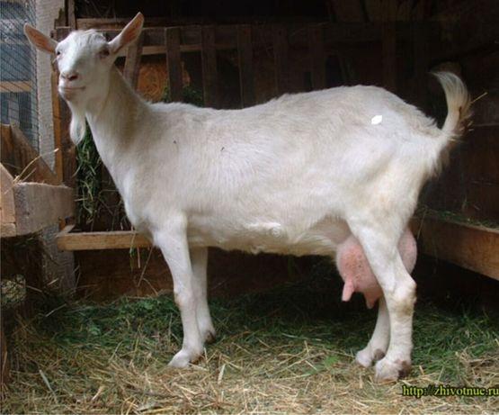 Коза-первістка