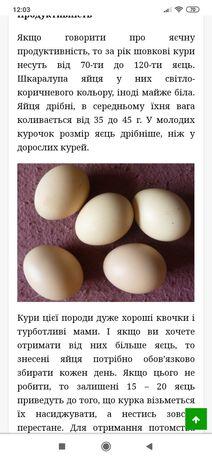 Китайська шовкова інкубаційні яйця