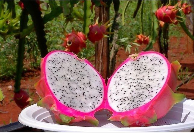 Planta Pitaya vermelha polpa branca